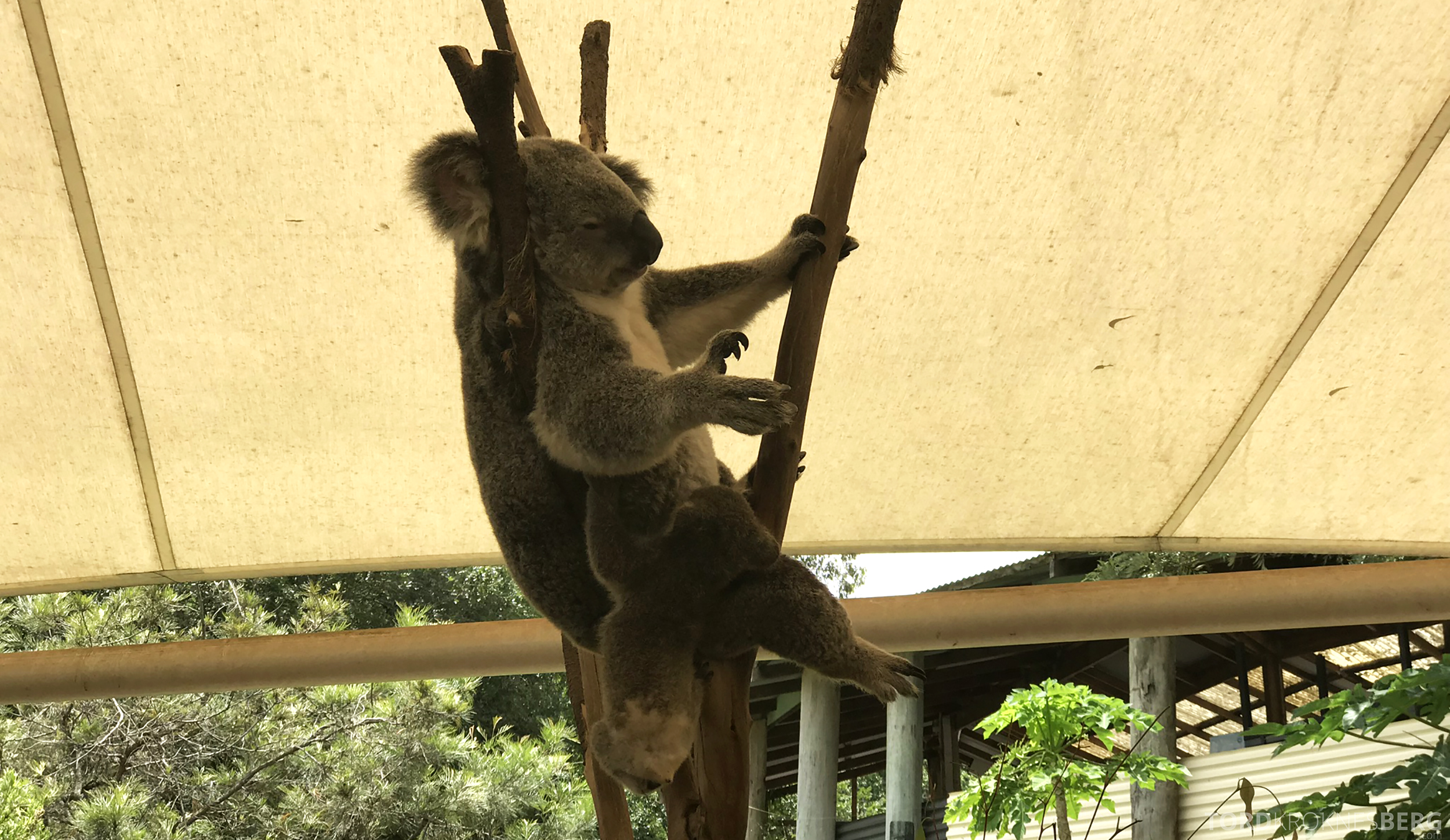 Lone Pine Koala Sanctuary Cruise koala