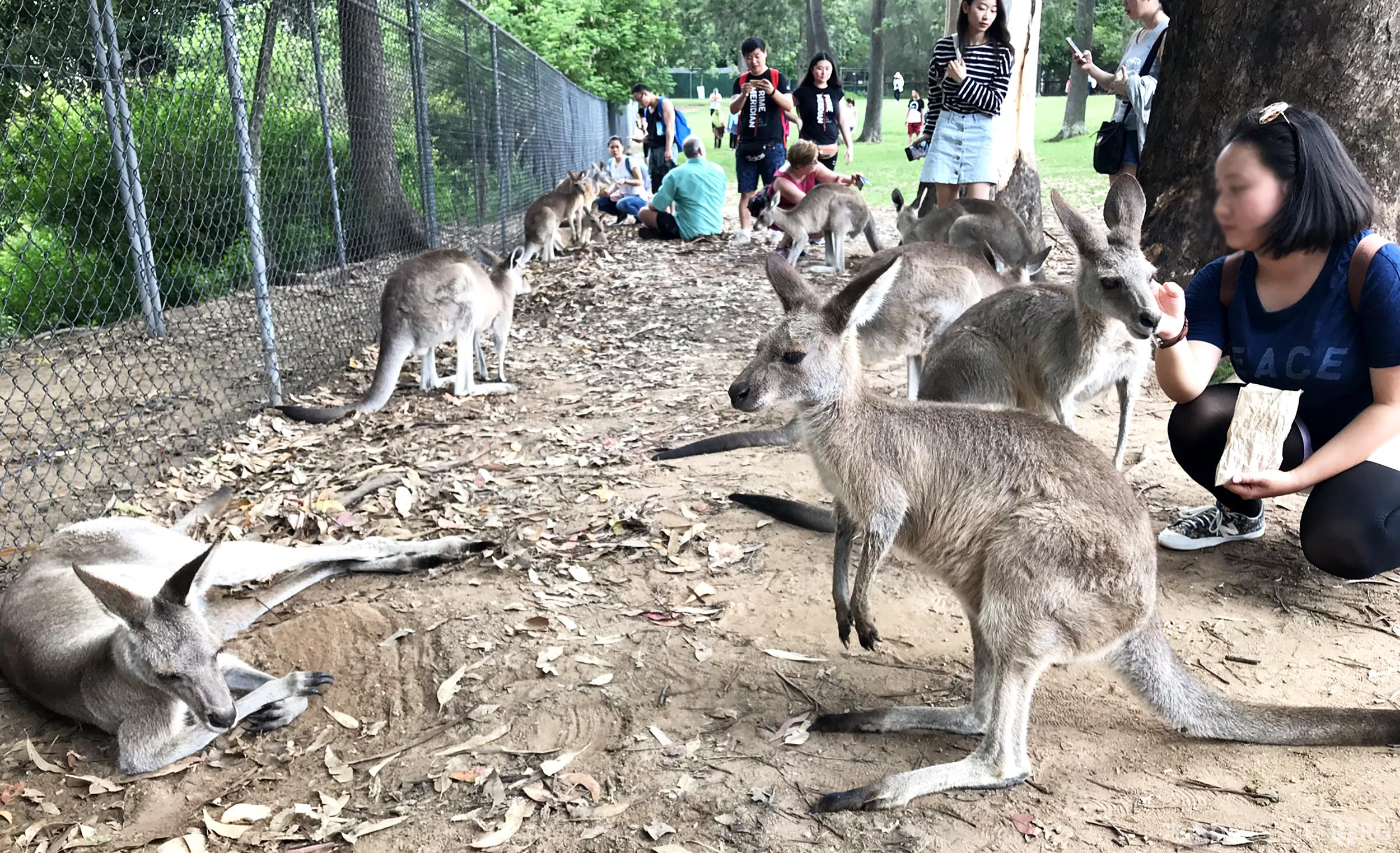 Lone Pine Koala Sanctuary Cruise klappe kenguru